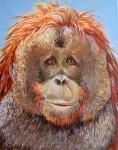 C Orangutan